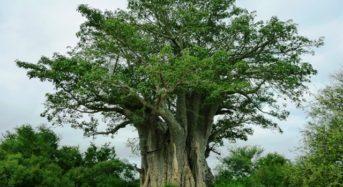 Baobab – der Affenbrotbaum