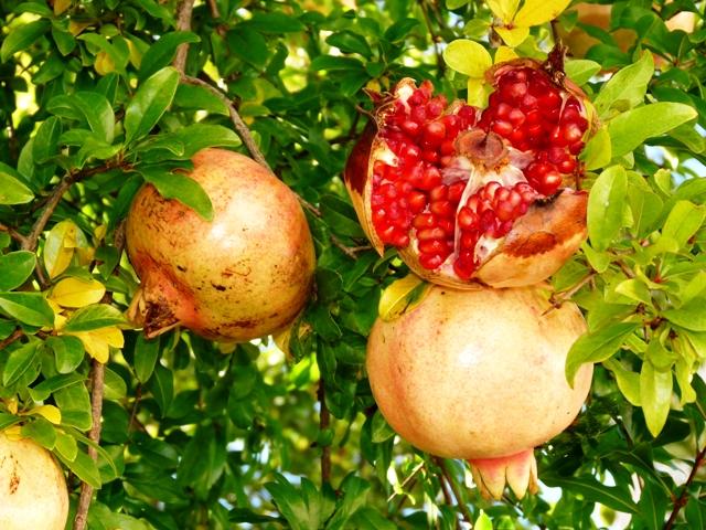 Granatapfel, Quelle: Dieter Schütz_pixelio.de