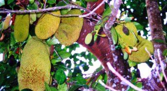 Jackfrucht die Alternative zu Fleisch – Teil 1