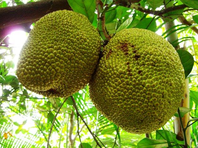 Jackfrucht, Quelle: Miroslaw_pixelio.de