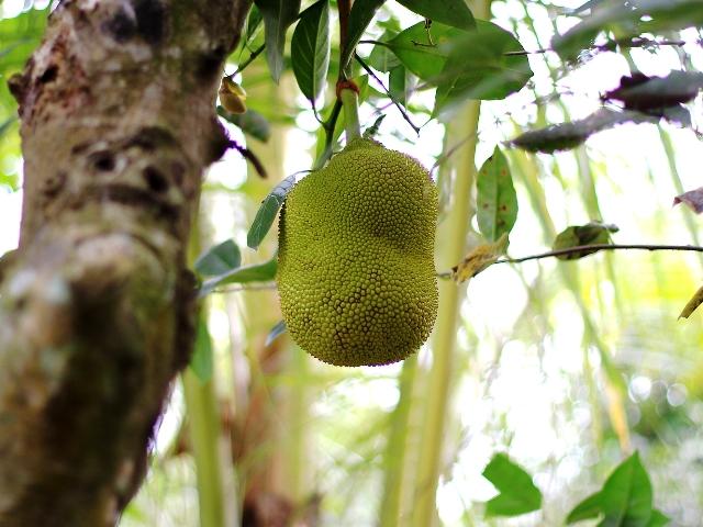 Jackfrucht, Quelle: Janusz Klosowski_pixelio.de