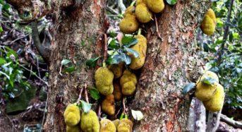 Jackfruit – der vielseitige Tropenstar – Teil 2