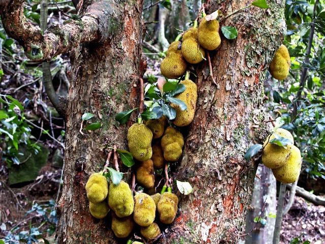 Jackfruit, hängend am Baum