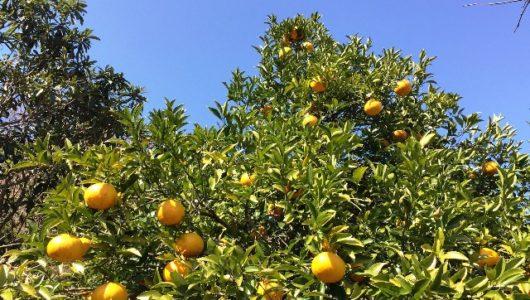 Pomelo – die spritzige Zitrusfrucht