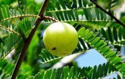 Amla Öl – die magische Kraft des asiatischen Haaröls