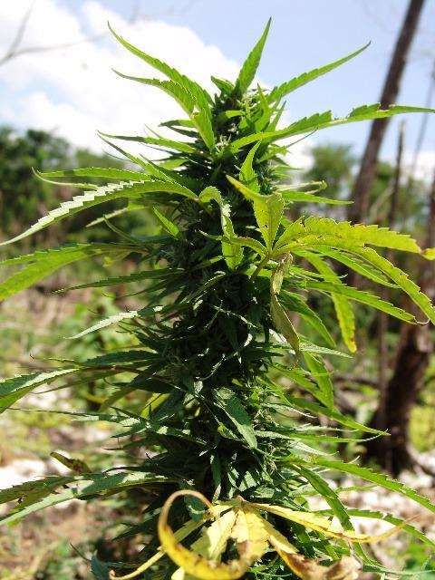 Hanföl, Cannabis, Quelle: pixabay