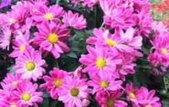 Chrysanthemen: Pflegetipps für die Herbstpflanze