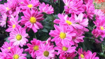 Chrysanthemen: Tipps zur Pflege