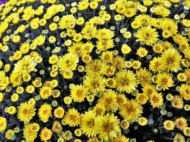 Chrysantheme, Quelle: pixabay