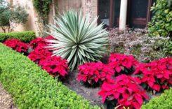 Weihnachtsstern – 5 Tipps zur Pflege