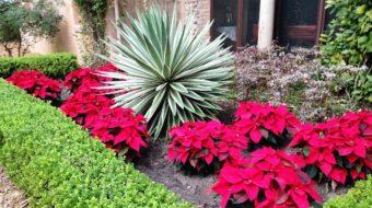 Weihnachtsstern: die beliebte Pflanze im Advent