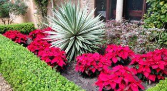 Weihnachtsstern – 5 gute Tipps zur Pflege