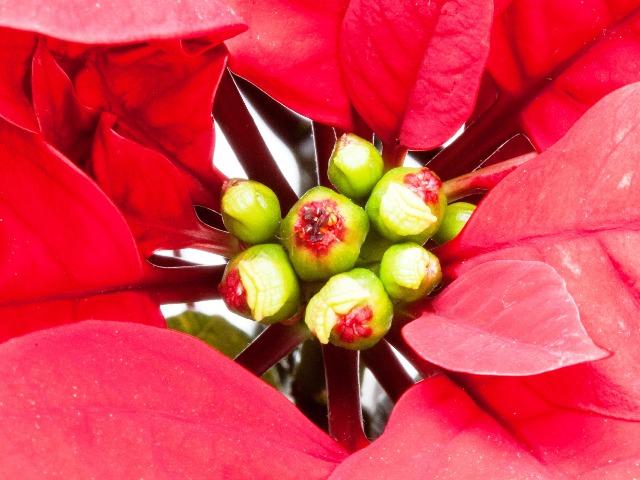 Weihnachtsstern, Quelle: pixabay