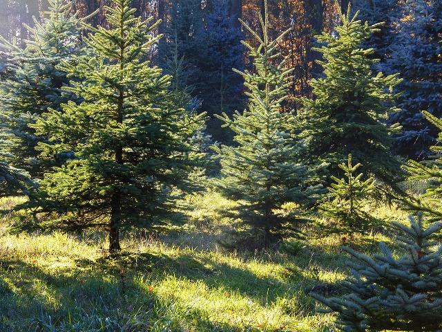 Weihnachtsbaum selber schlagen, Quelle: pixabay