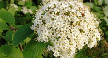 Weißdorn: Die Arzneipflanze des Jahres 2019