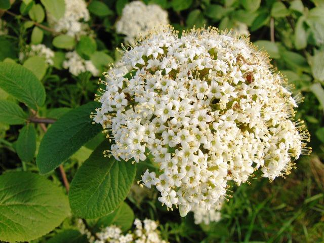 Weißdorn Blüte, Quelle: pixabay