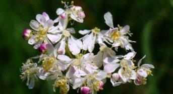 Mädesüß – eine beinahe vergessene Pflanze