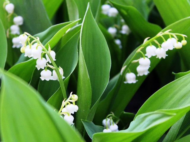 Giftige Pflanzen, Maiglöckchen, Quelle: pixabay