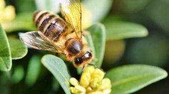 Bienenfreundliche Pflanzen für den Balkon