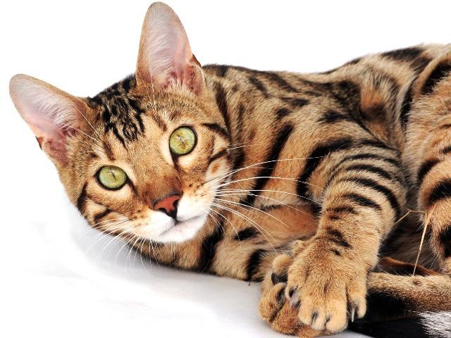 Katzen für Allergiker, Bengal Katze, Quelle: pixabay