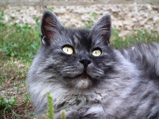 Sibirische Katze, Quelle: pixabay