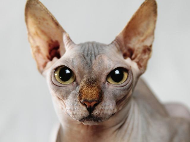 Katzen für Allergiker, Sphinx Katze, Quelle: pixabay