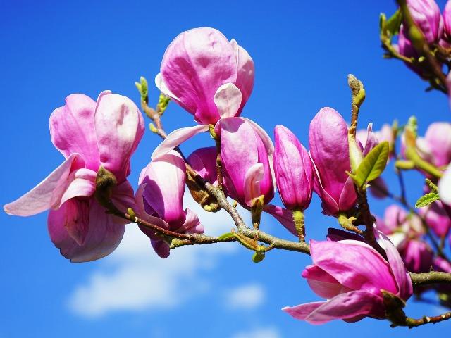 Anti-Aging, Magnolia Blüte, Quelle: pixabay