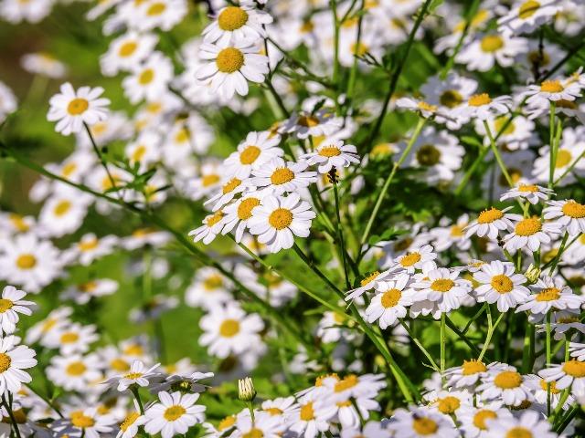 Naturheilkunde bei Tieren; Pflanzenheilkunde, Kamille, Quelle: pixabay