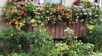 Hängende Geranien – Pelargonium peltatum