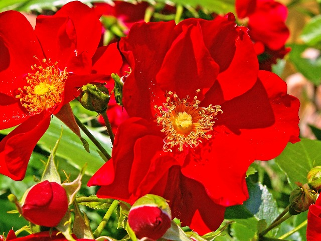 Rosen, Bodendeckerrosen, Bild von Kerstin Riemer auf Pixabay