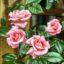 Rosen düngen – Was sollte dabei beachtet werden?