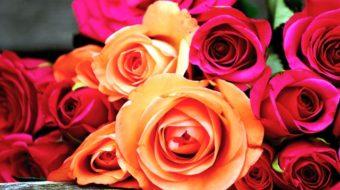 Rosen richtig pflanzen und pflegen