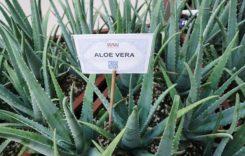 Aloe Vera – Der Geheimtipp für schneller wachsende Haare