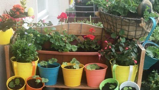 Balkonpflanzen richtig pflegen